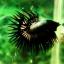 (ขายแล้วครับ)ปลากัดครีบยาวหางมงกุฎ-Crowntails Black Copper Quality Grade thumbnail 6