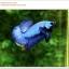 คัดเกรดปลากัดครีบสั้น-Halfmoon Plakat Super Blue thumbnail 4