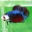 (ขายแล้วครับ)ปลากัดครีบสั้น-Fancy Halfmoon Plakats thumbnail 4