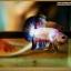 ปลากัดครีบสั้น-Halfmoon Plakat Fancy Marble thumbnail 1