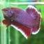 """(ขายแล้วครับ)""""คัดเกรด""""ปลากัดครีบสั้น-Halfmoon Plakats Lavender thumbnail 5"""