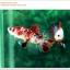 คัดเกรดปลากัดครีบสั้น-Halfmoon Plakat Fancy Red Koi thumbnail 2