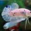 (ขายแล้วครับ)ปลากัดครีบสั้น Halfmoon Plakats Fancy thumbnail 2