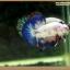 คัดเกรดปลากัดครีบสั้น-Halfmoon Plakat Fancy Blue Dragon and Marble thumbnail 1