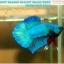 """(ขายแล้วครับ)""""คัดเกรด""""ปลากัดครีบสั้น-Halfmoon Plakats Fancy Green Nice Tails Nice Form thumbnail 2"""