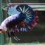 ปลากัดคัดเกรดครีบสั้น - Halfmoon Plakad Fancy Colors Full Dragon Quality Grade AAA+ thumbnail 2