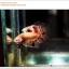 พิเศษ คัดเกรดปลากัดครีบสั้น-Halfmoon Plakat Gold Dot REd Grade AAA+ thumbnail 6