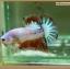 คัดเกรดปลากัดครีบสั้นหางพระจันทร์ครึ่งดวง - Halfmoon Plakat Fancy Dragon thumbnail 1