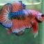 (ขายแล้วครับ)Fancy Orange Over ปลากัดครีบสั้น-Halfmoon Plakats thumbnail 2