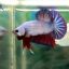 """(ขายแล้วครับ)""""คัดเกรด""""ปลากัดครีบสั้น-Halfmoon Plakats Fancy Dragon thumbnail 5"""