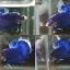 """(ขายแล้วครับ)""""คัดเกรด""""ปลากัดครีบสั้น-Halfmoon Plakats Fancy Blue Dragon thumbnail 1"""
