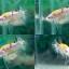 """(ขายแล้วครับ)""""คัดเกรด""""ปลากัดครีบสั้น-Halfmoon Plakats Fancy Yellow Koi thumbnail 1"""