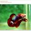 คัดเกรดปลากัดครีบสั้น-Hi- Quality Halfmoon Plakat Fancy Red Black Eye Quality Grade thumbnail 4