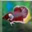 """(ขายแล้วครับ)""""คัดเกรด""""ปลากัดครีบสั้นหูช้าง-Halfmoon Plakats Super BigEar Lavender thumbnail 4"""