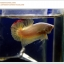 คัดเกรดปลากัดครีบสั้น-Halfmoon Plakat Gold Dragon Quality Grade thumbnail 1