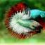(ขายแล้วครับ)ปลากัดครีบยาวหางมงกุฎ-Crowntails06 thumbnail 5