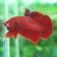 """(ขายแล้วครับ)""""คัดเกรด""""ปลากัดครีบสั้น - Halfmoon Plakats SUPER RED02 thumbnail 4"""