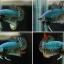 ปลากัดครีบสั้น - Halfmoon Plakats thumbnail 1
