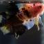 """(ขายแล้วครับ)""""คัดเกรด""""ปลากัดครีบสั้น-Halfmoon Plakats Fancy Yellow Black Koi thumbnail 6"""