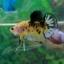 """(ขายแล้วครับ)""""Grade A""""ปลากัดครีบสั้น-Halfmoon Plakats Super Fancy Koi Grade A thumbnail 7"""