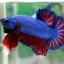 """(ขายแล้วครับ)""""คัดเกรด""""ปลากัดครีบสั้น-Halfmoon Plakats Fancy Blue Red thumbnail 2"""