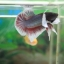 """(ขายแล้วครับ)""""คัดเกรด""""ปลากัดครีบสั้นหูช้าง-Halfmoon Plakats BigEar thumbnail 7"""