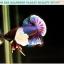 """(ขายแล้วครับ)""""คัดเกรดประกวด""""ปลากัดครีบสั้นหูช้าง-Halfmoon Plakats Big Ear Lavender Quality Grade thumbnail 10"""