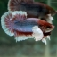 """(ขายแล้วครับ)Big Ear หูช้าง """"คัดเกรด""""ปลากัดครีบสั้น-Halfmoon Plakats Big Ear Lavender thumbnail 4"""
