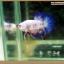 คัดเกรดปลากัดครีบสั้น-Halfmoon Plakat Fancy Blue Dragon and Marble thumbnail 13
