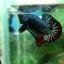 """(ขายแล้วครับ)""""คัดเกรด""""ปลากัดครีบสั้น-Halfmoon Plakats Fancy Dragon Green Red thumbnail 7"""