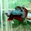 "(Sold Out)""คัดเกรด""ปลากัดครีบสั้น-Halfmoon Plakats Fancy Green Dragon thumbnail 8"