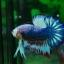 คัดเกรดปลากัดครีบสั้น-Halfmoon Plakad Fancy Dragon Hi Quality Grade thumbnail 3