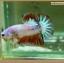 คัดเกรดปลากัดครีบสั้นหางพระจันทร์ครึ่งดวง - Halfmoon Plakat Fancy Dragon thumbnail 2