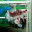 """(ขายแล้วครับ)ตอนรับเทศกาล สงกรานต์ """"คัดเกรด""""ปลากัดครีบสั้น-Halfmoon Plakats Super Fancy Koi Grade AAA thumbnail 9"""