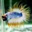 (ขายแล้วครับ)ปลากัดครีบยาวหางมงกุฎ-Crowntails01 thumbnail 6