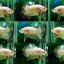 """(ขายแล้วครับ)""""คัดเกรดพ่อพันธุ์""""ปลากัดครีบสั้น-Halfmoon Plakats Fancy Mark Red thumbnail 2"""