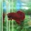 """(ขายแล้วครับ)""""คัดเกรด""""ปลากัดครีบสั้น-Halfmoon Plakats Super Red#1 Grade B+ thumbnail 2"""