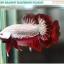 """""""คัดเกรด""""ปลากัดครีบสั้น-Halfmoon Plakats Red Dragon Quality Grade thumbnail 1"""