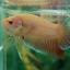 ปลากัดครีบสั้น - Halfmoon Plakats Yellow thumbnail 5