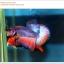 คัดเกรดปลากัดครีบสั้น-Halfmoon Plakat Lavender Fancy thumbnail 3