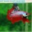 """(ขายแล้วครับ)""""คัดเกรด""""ปลากัดครีบสั้น-Halfmoon Plakats Fancy Dragon Red Devil thumbnail 4"""