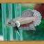 (ขายแล้วครับ)ปลากัดครีบสั้น - Fancy Halfmoon Plakats thumbnail 6