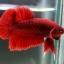 """(ขายแล้วครับ)""""คัดเกรด""""ปลากัดครีบสั้น-Halfmoon Plakats Red thumbnail 2"""