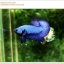 คัดเกรดปลากัดครีบสั้น-Halfmoon Plakat Super Blue thumbnail 7