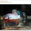 คัดเกรดปลากัดครีบสั้น-Halfmoon Plakat Fancy Dragon Quality Grade thumbnail 3