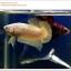 คัดเกรดปลากัดครีบสั้น-Halfmoon Plakat Gold Dragon Quality Grade thumbnail 4