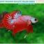 """(ขายแล้วครับ)""""คัดเกรด""""ปลากัดครีบสั้น-Halfmoon Plakats Fancy Dragon Red Devil thumbnail 1"""