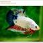 คัดเกรดปลากัดครีบสั้น-Hi- Quality Halfmoon Plakat Fancy Marble Quality Grade thumbnail 2