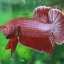 (ขายแล้วครับ)ปลากัดครีบสั้น - Halfmoon Plakats RED thumbnail 2