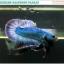 """(ขายแล้วครับ)""""คัดเกรด""""ปลากัดครีบสั้น-Halfmoon Plakats Grizzled thumbnail 1"""